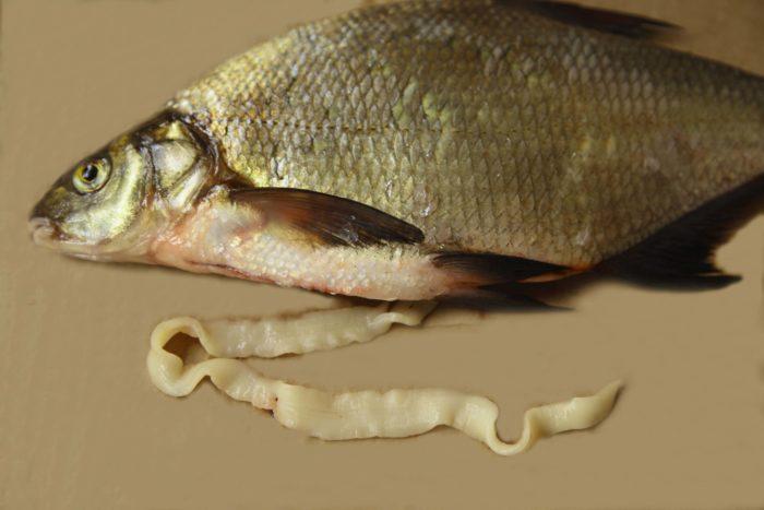 как выглядит солитёр в рыбе фото