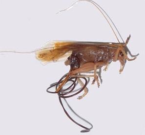 паразит волосатик человека